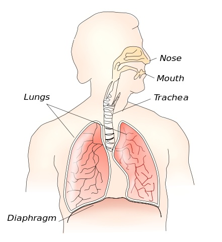 441px-Respiratory_system