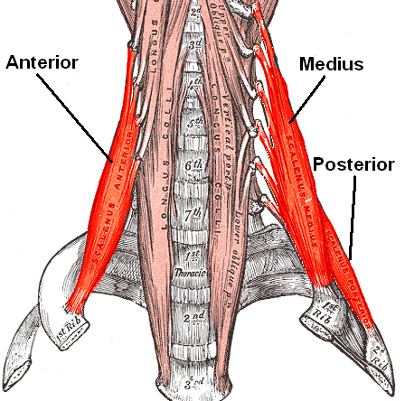 Scalenes attach to 1st and 2nd ribs; front neck muscles necessary for breathing..