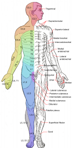 Dermatomes_and_cutaneous_nerves_-_anterior
