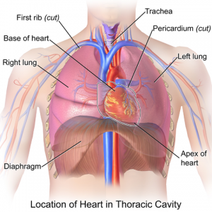Location of lungs, Heart in Thoracic Cavity