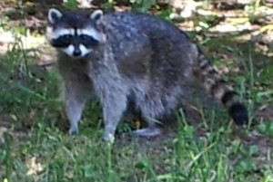 20120713_123007raccoon on the alert