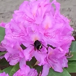 bumble bee on a pink rhodie soon after the auto accident