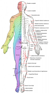 Functional neurology coursework taught me to understand maps of nerves. Dermatomes_and_cutaneous_nerves_-_posterior