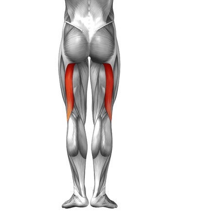 38279186_s lateral hamstring (biceps femoris) from ischial, Human Body