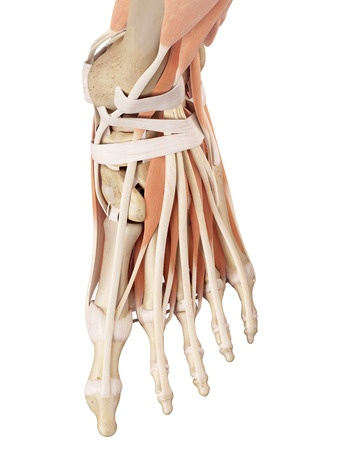 42219496_s anterior and medial tendons, muscles, retinaculum of left ...