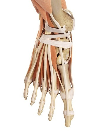 42219496_s anterior and medial tendons, muscles, retinaculum of ...