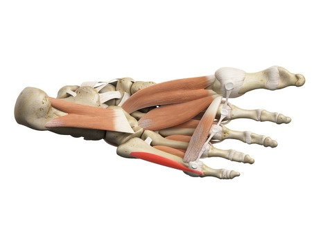 44207575s Muscles Tendons Ligaments And Bones Of Plantar Surface